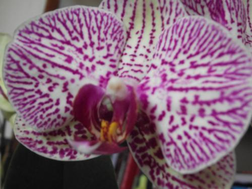 Forum Dukan : orchidee