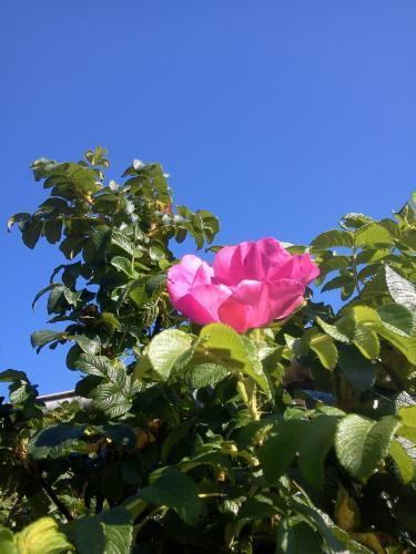 Forum Dukan : une jolie rose